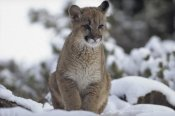 Tim Fitzharris - Mountain Lion juvenile in snow, North America