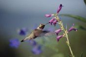 Tim Fitzharris - Broad-tailed Hummingbird feeding on flowers, New Mexico