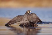 Tim Fitzharris - Peregrine Falcon standing over prey, North America