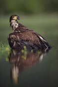 Tim Fitzharris - Bald Eagle juvenile with its reflection, British Columbia, Canada