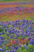 Tim Fitzharris - Sand Bluebonnet and Paintbrush flowers, Hill Country, Texas