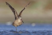 Tim Fitzharris - Marbled Godwit stretching its wings, North America