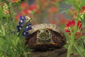 Tim Fitzharris - Western Box Turtle among Lupine and Indian Paintbrush, North America