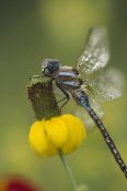 Tim Fitzharris - Southern Hawker Dragonfly on Prairie Coneflower , New Mexico