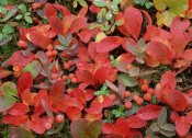 Tim Fitzharris - Bearberry on forest floor in autumn, Yukon Territory, Canada