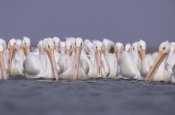 Tim Fitzharris - American White Pelican group, North America