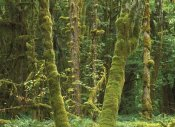 Tim Fitzharris - Maple glade, Quinault Temperate Rainforest, Olympic NP, Washington