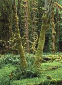 Tim Fitzharris - Maple glade, Quinault Rain Forest, Olympic NP, Washington