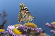 Tim Fitzharris - Painted Lady butterfly feeding on Purple Aster , California