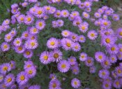 Tim Fitzharris - Smooth Aster plant in full summer bloom, Colorado