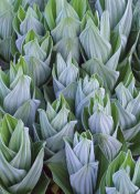 Tim Fitzharris - False Hellebore with frost, Gothic, Colorado