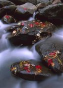 Tim Fitzharris - Little Pigeon River and fall Maple leaves, Great Smoky Mountains National Park