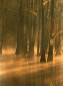 Tim Fitzharris - Bald Cypress swamp, Calcasieu River backwater, Lake Charles, Louisiana