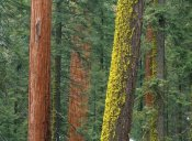 Tim Fitzharris - Giant Sequoia trees in Grant Grove, Sequoia National Park, California