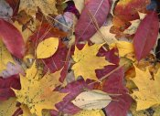 Tim Fitzharris - Fall-colored Maple, Sourwood and Cherry leaves, Great Smoky Mountains NP