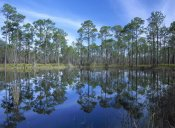 Tim Fitzharris - Pine forest mirrored in reflection pond, Ochlocknee River State Park, Florida