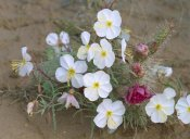 Tim Fitzharris - Evening Primrose with Grizzly Bear Cactus , North America
