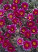 Tim Fitzharris - Grizzly Bear Cactus in bloom, North America