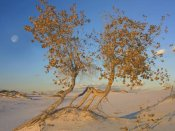 Tim Fitzharris - Fremont Cottonwood trees, White Sands National Monument, New Mexico