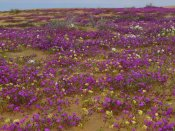 Tim Fitzharris - Sand Verbena carpeting the ground, Imperial Sand Dunes, California