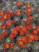 Tim Fitzharris - Claret Cup Cactus detail of flowers in bloom, North America