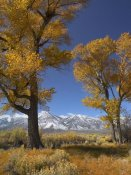 Tim Fitzharris - Cottonwood with the Carson Range in the background, Nevada