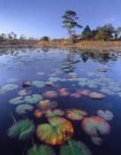 Tim Fitzharris - Waterlilies in pond, Jonathan Dickinson State Park near Hobe Sound, Florida