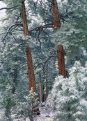 Tim Fitzharris - Ponderosa Pine forest after fresh snowfall, Rocky Mountain NP, Colorado