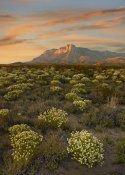 Tim Fitzharris - Blooming Pepperweed and El Capitan, Guadalupe Mountains NP, Texas