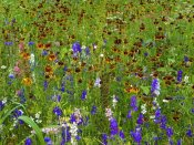Tim Fitzharris - Delphinium and Mexican Hat flowers in meadow, North America