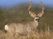 Tim Fitzharris - Mule Deer male in dry grass, North America