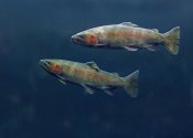 Tim Fitzharris - Rainbow Trout pair swimming underwater