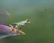 Tim Fitzharris - Red-eyed Tree Frog eyeing Bee Fly , Costa Rica