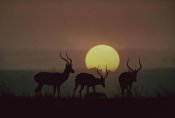 Tim Fitzharris - Impala bucks at sunset, Kenya
