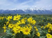 Tim Fitzharris - Balsamroot Sunflower patch, Grand Teton National Park, Wyoming