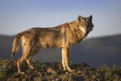 Tim Fitzharris - Gray Wolf side view, North America