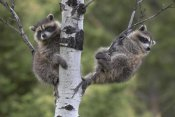 Tim Fitzharris - Raccoon two babies in tree, North America