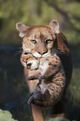 Tim Fitzharris - Mountain Lion mother carrying cub in her mouth, North America