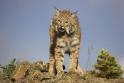 Tim Fitzharris - Bobcat , North America