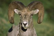 Tim Fitzharris - Bighorn Sheep close-up, North America