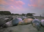 Tim Fitzharris - Northern Elephant Seals, Point Piedra Blancas, California