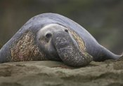 Tim Fitzharris - Northern Elephant Seal bull, showing proboscis, California