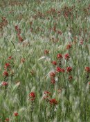 Tim Fitzharris - Indian Paintbrush and Foxtail Barley field, Texas