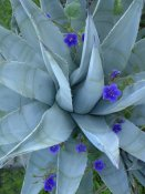 Tim Fitzharris - Bluebell and Agave , North America