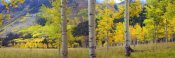 Tim Fitzharris - Quaking Aspen grove in autumn, Colorado