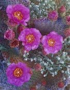 Tim Fitzharris - Beavertail Cactus flowering, North America