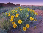 Tim Fitzharris - Sunflowers and buttes, Capitol Reef National Park, Utah