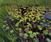 Tim Fitzharris - Pond with lily pads and grasses, Cape Cod, Massachusetts