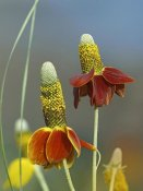 Tim Fitzharris - Mexican Hat flowers in bloom, North America