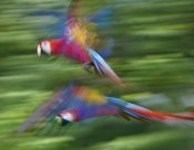 Tim Fitzharris - Scarlet Macaw pair flying, Costa Rica